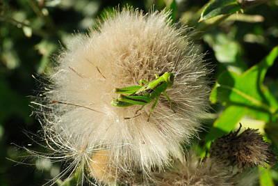 Grasshopper Macro Poster by Jeff Swan