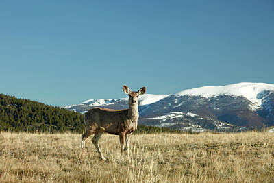 Grassy Mountain Deer Poster
