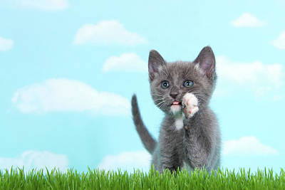Gray And White Tabby Kitten Calling Out In Tall Grass Poster
