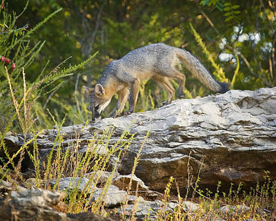 Gray Fox Hunting The Bluff Poster by Michael Dougherty