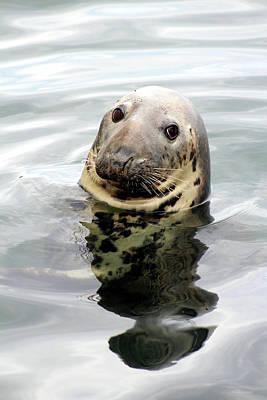 Gray Seal Poster