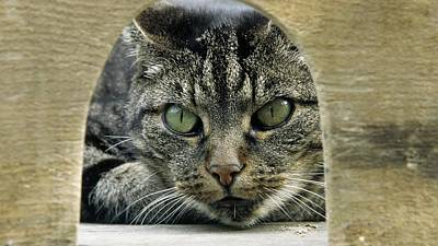 Gray Tabby Cat Eyes Green 1034 1920x1080 Poster