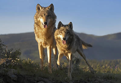 Gray Wolf Canis Lupus Pair Standing Poster by Tim Fitzharris