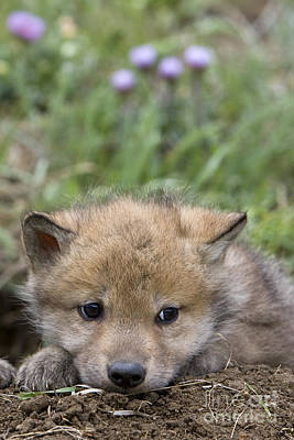 Gray Wolf Cub Poster