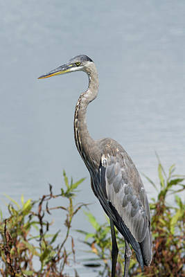 Great Blue Heron #2 Poster