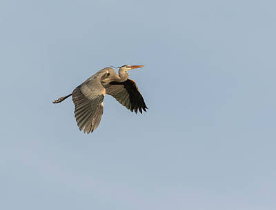 Poster featuring the photograph Great Blue Heron 2015-15 by Thomas Young