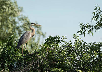 Poster featuring the photograph Great Blue Heron  2015-18 by Thomas Young