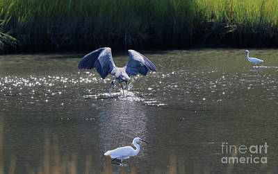 Great Blue Heron And Juveniles Fishing Poster