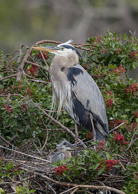 Great Blue Heron And Nestling Poster