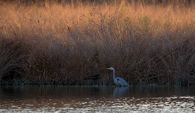 Great Blue Heron And Sunlit Field Poster