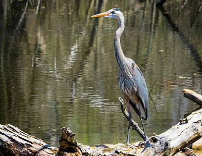 Poster featuring the photograph Great Blue Heron At Johnson Park by Ricky L Jones