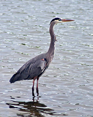 Poster featuring the photograph Great Blue Heron by Bill Barber