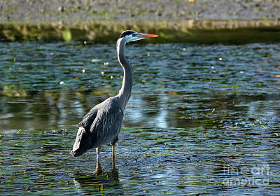 Great Blue Heron Catching The Light Poster