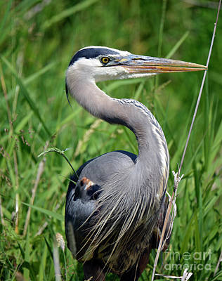 Great Blue Heron Close-up Poster