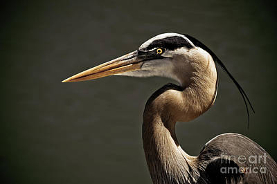 Great Blue Heron Close Up Portrait Poster by Stefano Senise