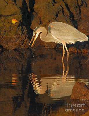Great Blue Heron Poster by Debbie Stahre