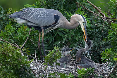 Great Blue Heron Feeding Chicks Poster by Peter Dorman
