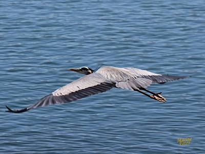 Great Blue Heron Flying Over Morro Bay Poster