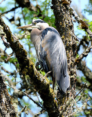 Great Blue Heron In A Tree Poster