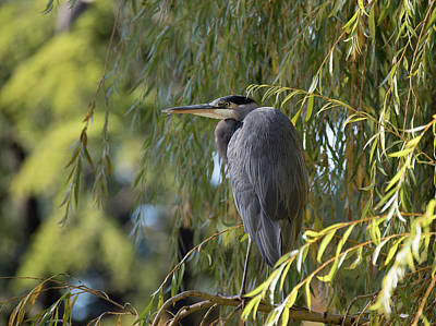 Great Blue Heron In A Willow Tree Poster