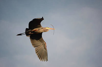 Poster featuring the photograph Great Blue Heron In Flight by Ann Bridges