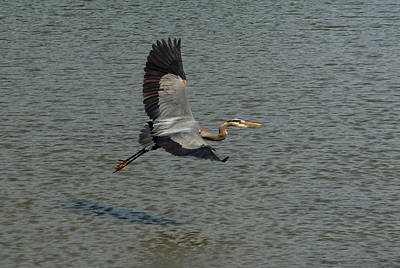 Poster featuring the photograph Great Blue Heron In Flight by Kathleen Stephens