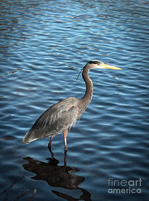 Great Blue Heron In Light Poster