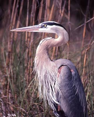 Great Blue Heron Poster by Jack Cushman