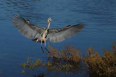 Great Blue Heron Landing Poster by Ernie Echols
