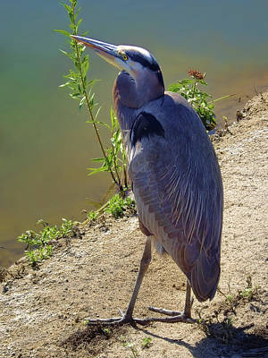Poster featuring the photograph Great Blue Heron by Mariola Bitner