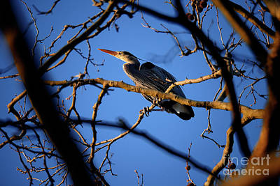 Poster featuring the photograph Great Blue Heron Nesting 2017 - 2 by Terry Elniski