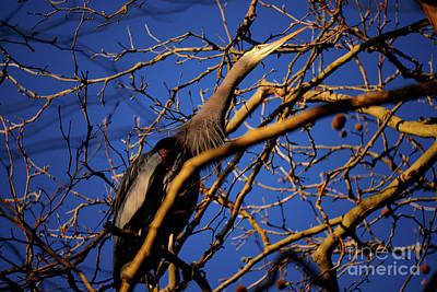 Poster featuring the photograph Great Blue Heron Nesting 2017 - 3 by Terry Elniski