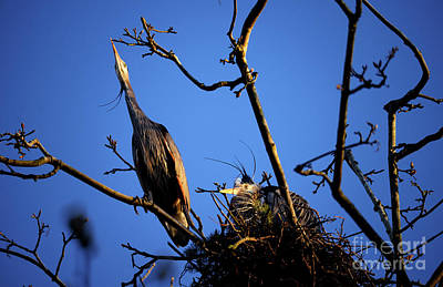 Poster featuring the photograph Great Blue Heron Nesting 2017 - 5 by Terry Elniski