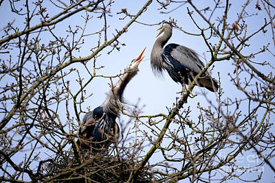 Poster featuring the photograph Great Blue Heron Nesting 2017 - 8 by Terry Elniski