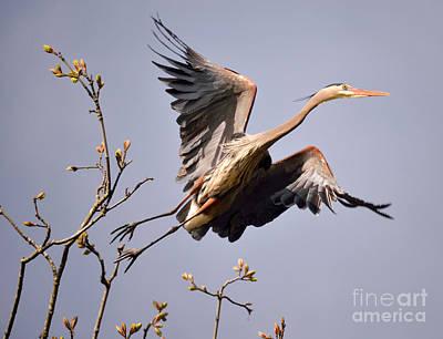 Great Blue Heron Nesting 6 Poster by Terry Elniski