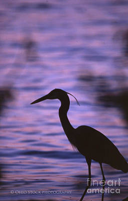 Great Blue Heron Photo Poster