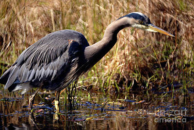 Poster featuring the photograph Great Blue Heron On The Hunt 1 by Terry Elniski