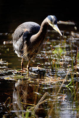Poster featuring the photograph Great Blue Heron On The Hunt 2 by Terry Elniski
