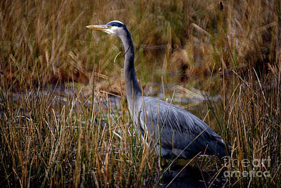 Poster featuring the photograph Great Blue Heron On The Hunt 3 by Terry Elniski