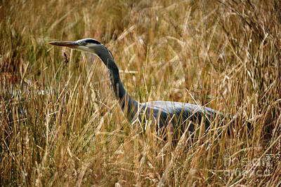 Poster featuring the photograph Great Blue Heron On The Hunt 4 by Terry Elniski