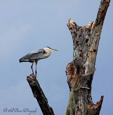 Poster featuring the photograph Great Blue Heron Perched by Barbara Bowen
