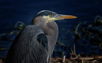 Poster featuring the photograph Great Blue Heron by Randy Hall