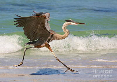 Great Blue Heron Running In The Surf Poster by Myrna Bradshaw