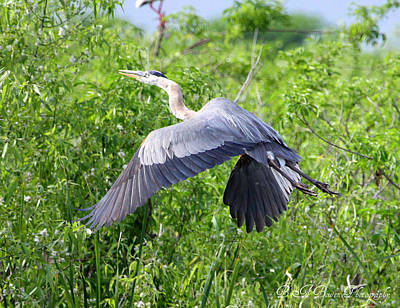 Poster featuring the photograph Great Blue Heron Takeoff by Barbara Bowen