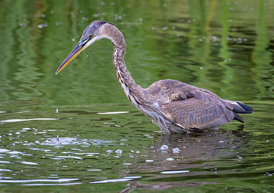 Poster featuring the photograph Great Blue Heron - The One That Got Away by Ricky L Jones