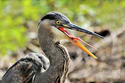 Great Blue Heron Tongue Poster by Debbie Stahre