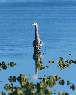 Great Blue Heron Wading Reflection Poster by Gary Langley