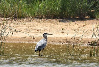 Poster featuring the photograph Great Blue Heron Wading by Sheila Brown