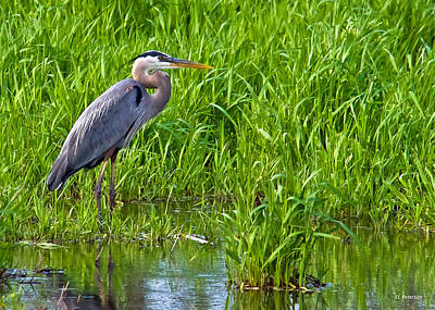 Great Blue Heron Waiting Poster