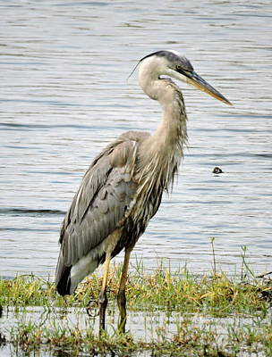 Poster featuring the photograph Great Blue Heron by William Albanese Sr